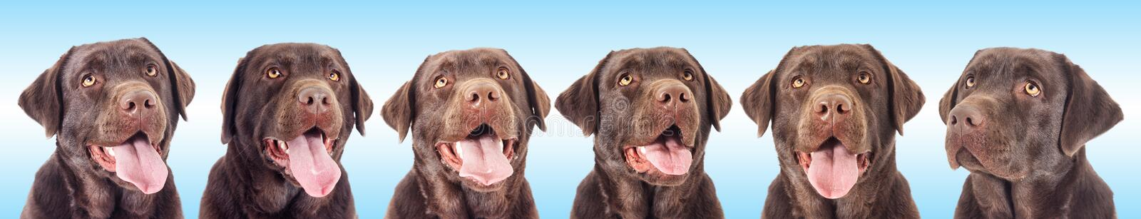 Portrait of a chocolate labrador dog. Looking stock image