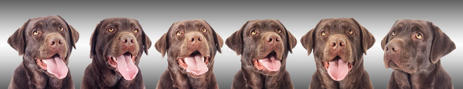 Portrait of a chocolate labrador dog. Looking royalty free stock photos