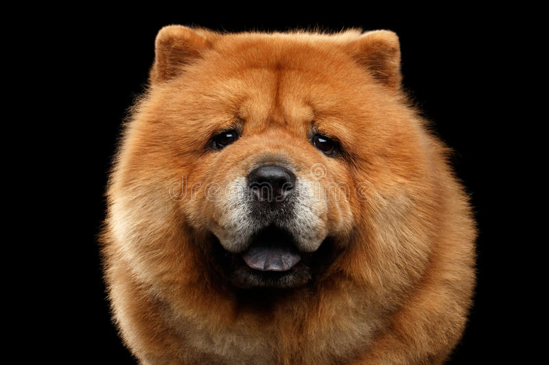 Portrait of Chow Chow Dog stock photography
