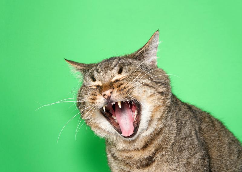 Portrait of a chubby gray and brown tabby cat with mouth wide open, eyes closed royalty free stock images