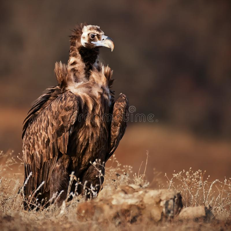 Portrait of a Cinereous vulture Aegypius monachus in the wild stock photos