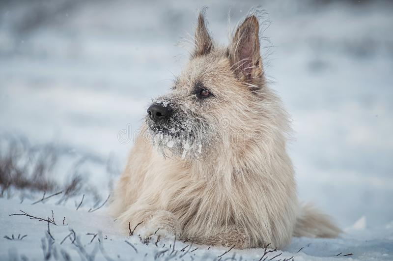 Portrait clever white dog lying in the snow, looking away stock photography