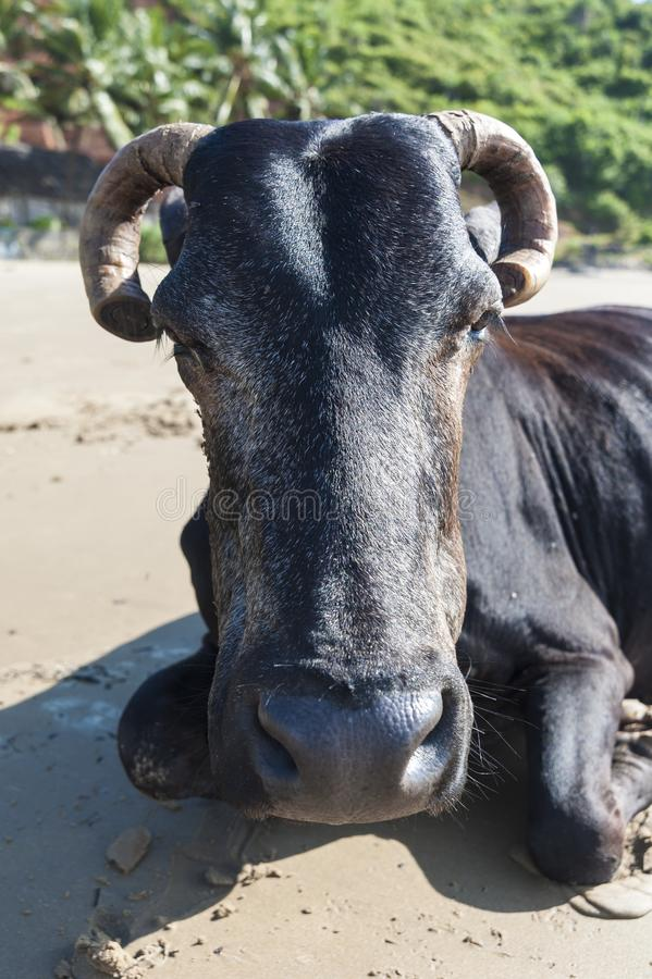 Portrait of close-up black cow on the beach royalty free stock photo