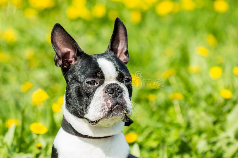 A young Boston Terrier dog on a background of green grass royalty free stock photos