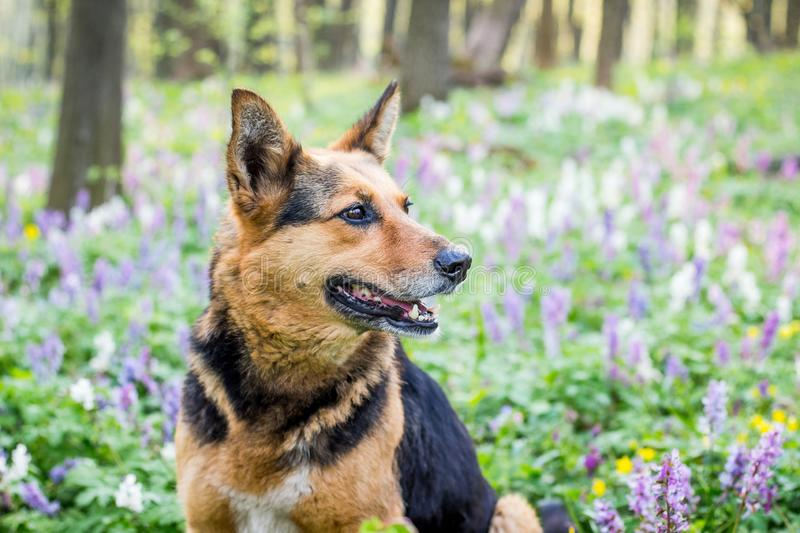 Portrait of a close-up dog in a spring forest on a background of flowers_ stock photos