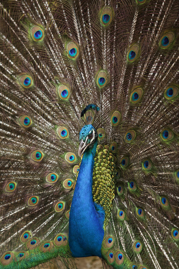 Download Portrait And Close Up Of Peacock Stock Image - Image of beak, neck: 25366511