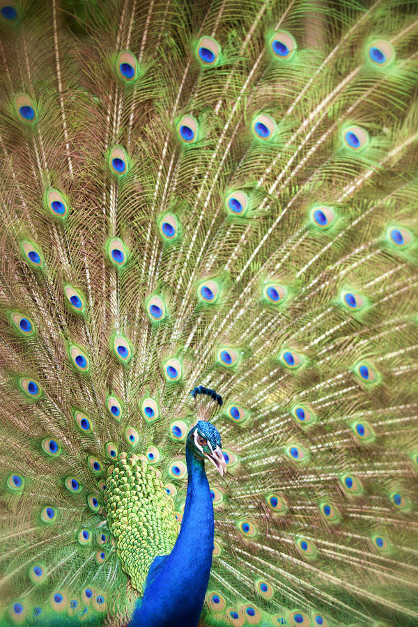 Download Portrait And Close Up Of Peacock Stock Photo - Image: 25366714