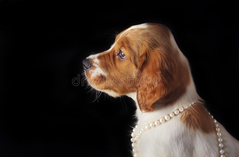 Portrait close-up of puppy setter with string of pearls around his neck on black background. royalty free stock photo