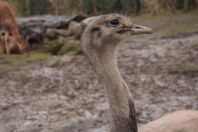 Portrait close up shoot of ostrich, Struthionidae. Family bird, from rotterdam zoo, Netherlands stock image