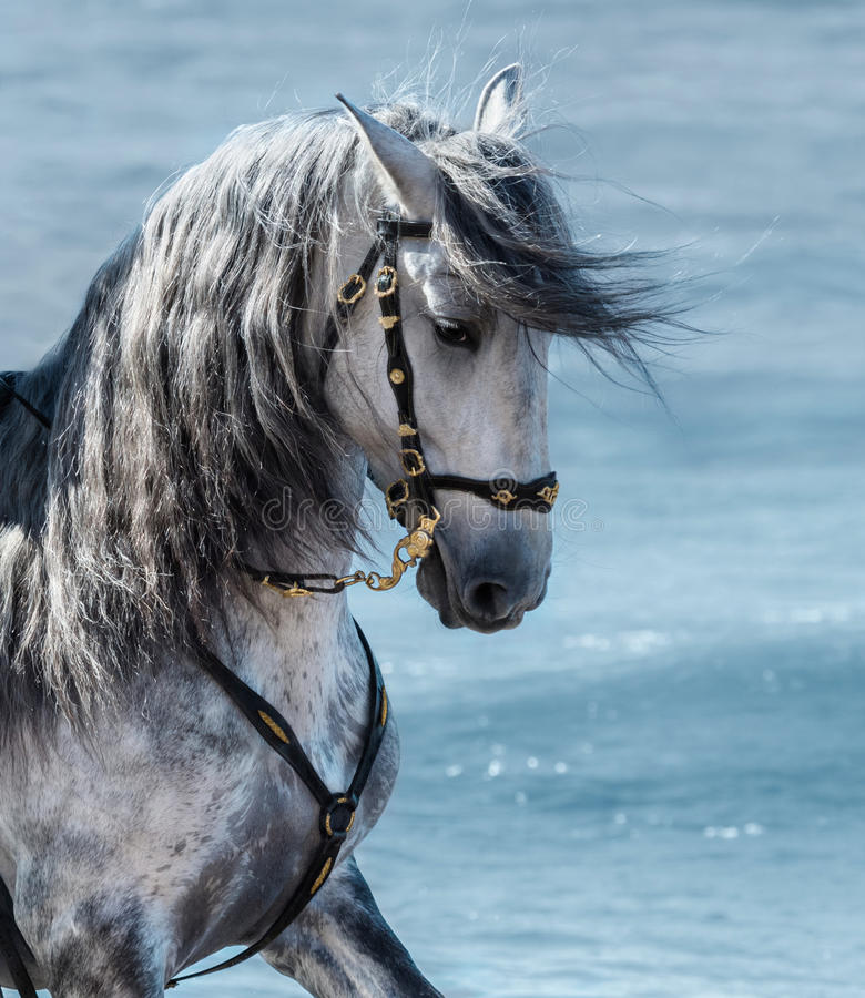 Portrait close up Spanish purebred gray horse with long mane royalty free stock photography