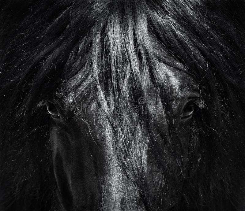 Portrait close up Spanish purebred horse with long mane. stock photography