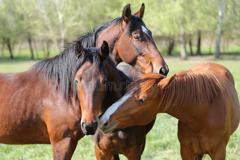 Group of yearlings playing together in beautiful morning lights in the green at springtime. Portrait close up of young stallions playing on green natural stock photography