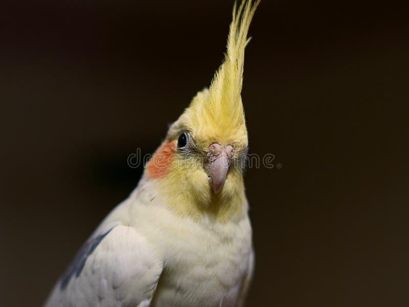 Portrait of a Cockatiel royalty free stock image