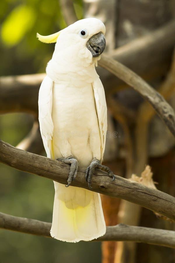 Portrait Cockatoos stock photo