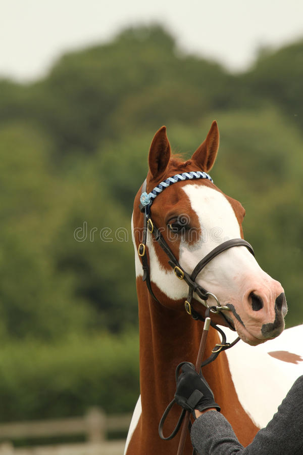 Portrait of colored Arabian horse or pony head at a show. Detail of held horse head and bridle showing intelligent eye and distinctive arabian horse or arab pony royalty free stock images