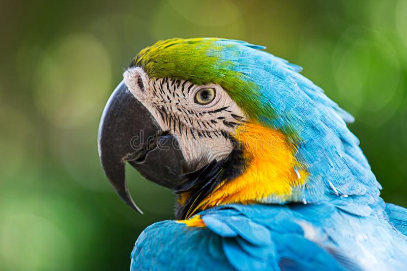 Portrait colorful macaw parrot. Portrait colorful of blue macaw parrot bird in nature with copy space royalty free stock image