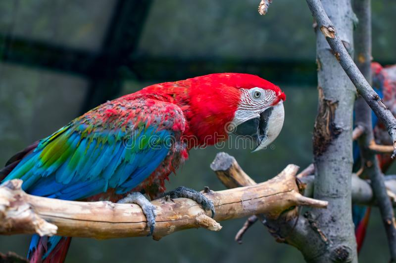 Portrait of colorful Scarlet Macaw parrot against wooden branches background royalty free stock photo