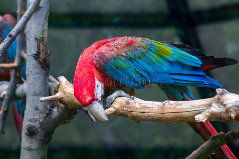 Portrait of colorful Scarlet Macaw parrot against wooden branches background stock image