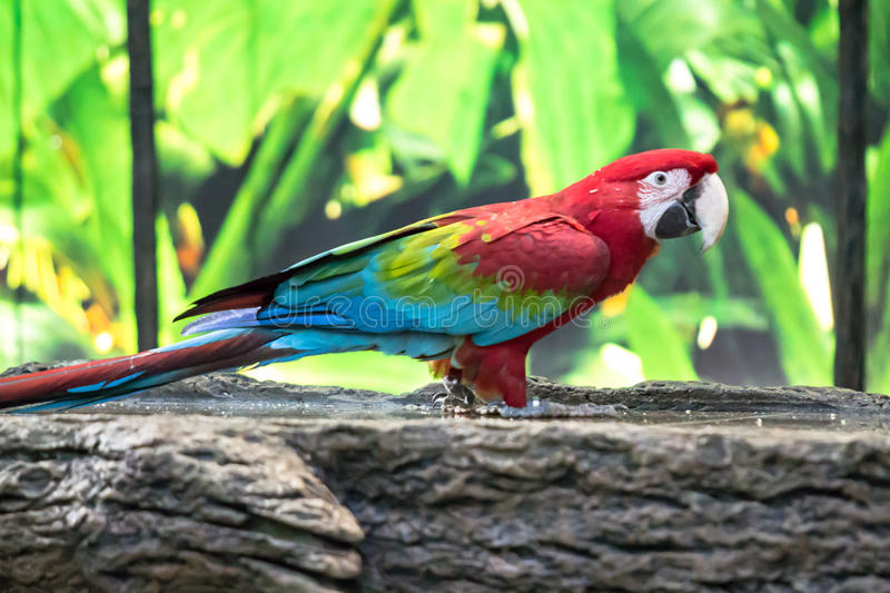 Colorful Macaw parrot. Portrait of colorful Scarlet Macaw parrot stock image