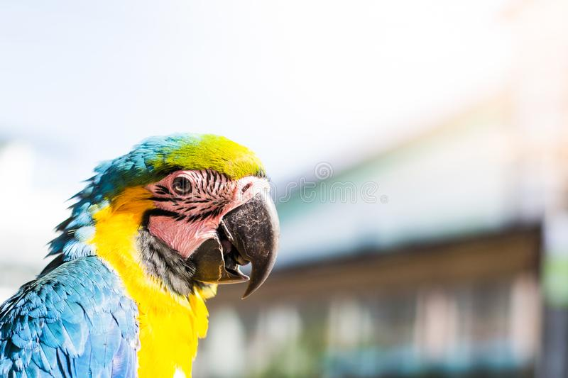 Portrait of colorful Scarlet Macaw parrot looking to photographer in blurred background. royalty free stock photos