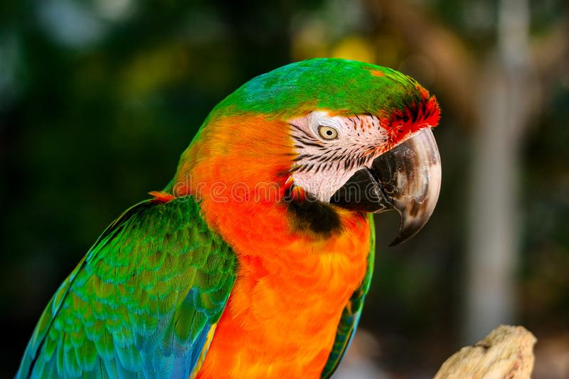 Colorfully plumed Ara parrot closeup. Portrait of the colorfully plumed Ara parrot in the natural environment royalty free stock photography
