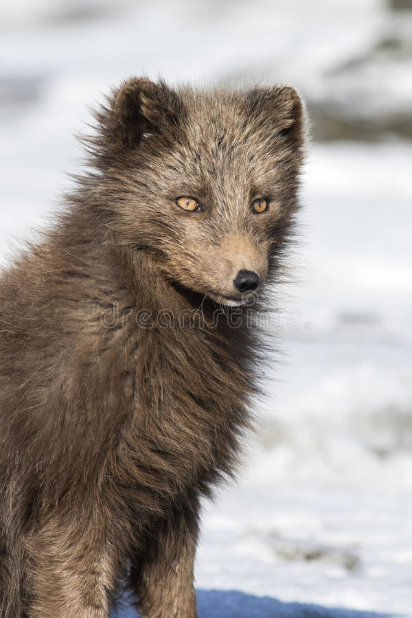Portrait of a Commande's blue arctic fox on the background of th. E winter tundra Bering Island stock photography