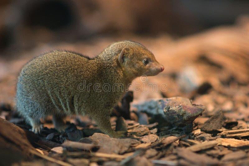 Portrait of Common dwarf mongoose stock images