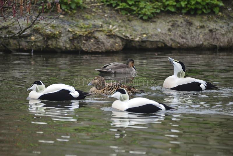 Portrait of Common Eider duck bird Somateria Mollissima in Sprin royalty free stock photography
