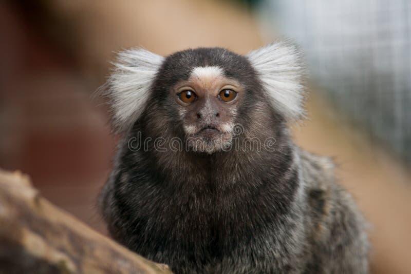 Common marmoset monkey royalty free stock images