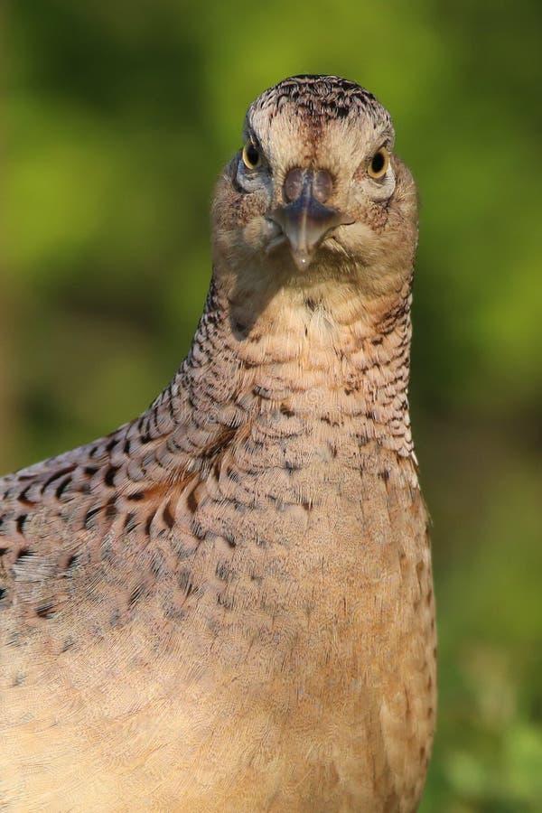 Portrait of  common pheasant female, Phasianus colchicus. Game bird royalty free stock photography