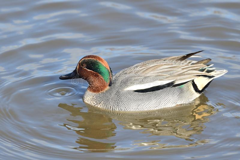 Common teal anas crecca. Portrait of a common teal anas crecca with nuptial plumage swimming in the water royalty free stock image