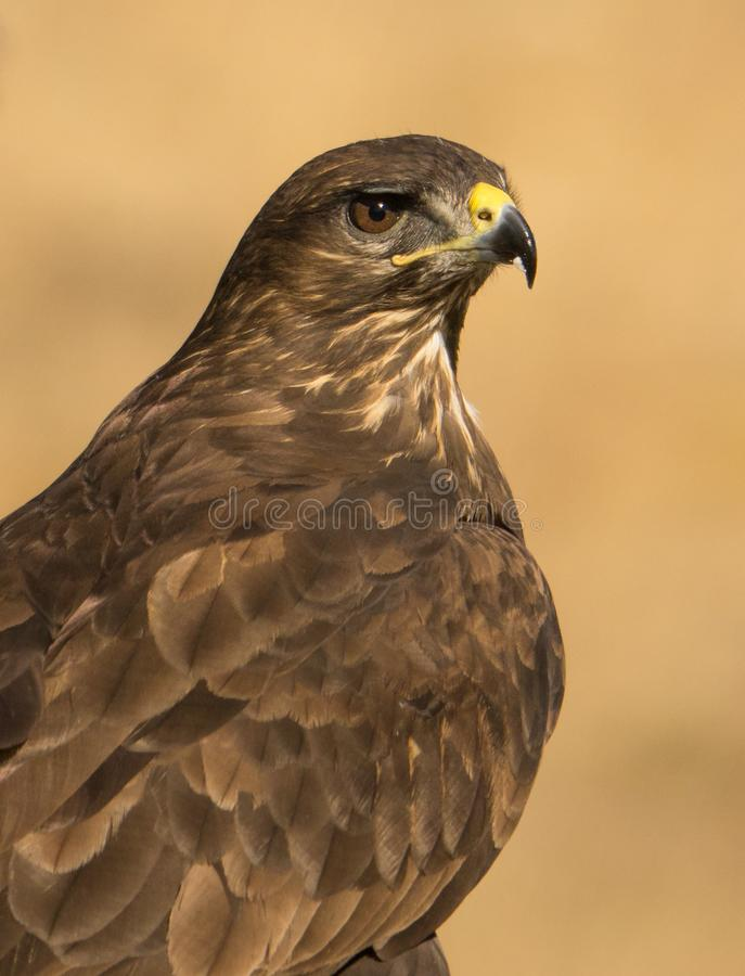 Portrait commun de Buzzard photos libres de droits