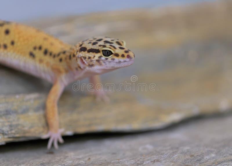 Portrait commun de gecko de léopard images libres de droits