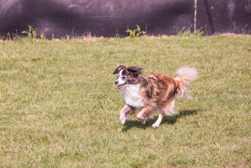 Continental Toy Spaniel dog living in belgium stock photos