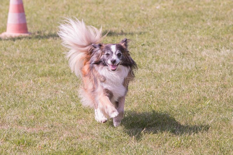 Continental Toy Spaniel dog living in belgium stock photo