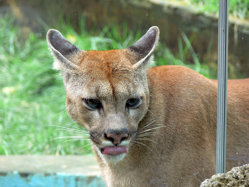 Download Portrait of cougar stock illustration. Image of stares - 21511888