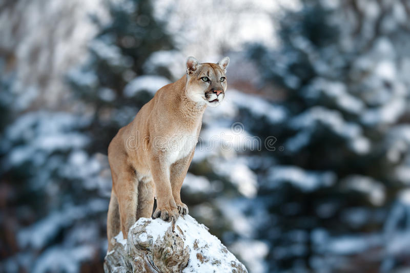 Portrait of a cougar, mountain lion, puma, panther, striking. A pose on a fallen tree, Winter scene in the woods Wildlife america stock photos
