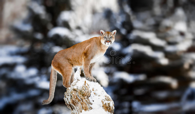 Portrait of a cougar, mountain lion, puma, panther. Striking a pose on a fallen tree, Winter scene in the woods, wildlife America royalty free stock photos