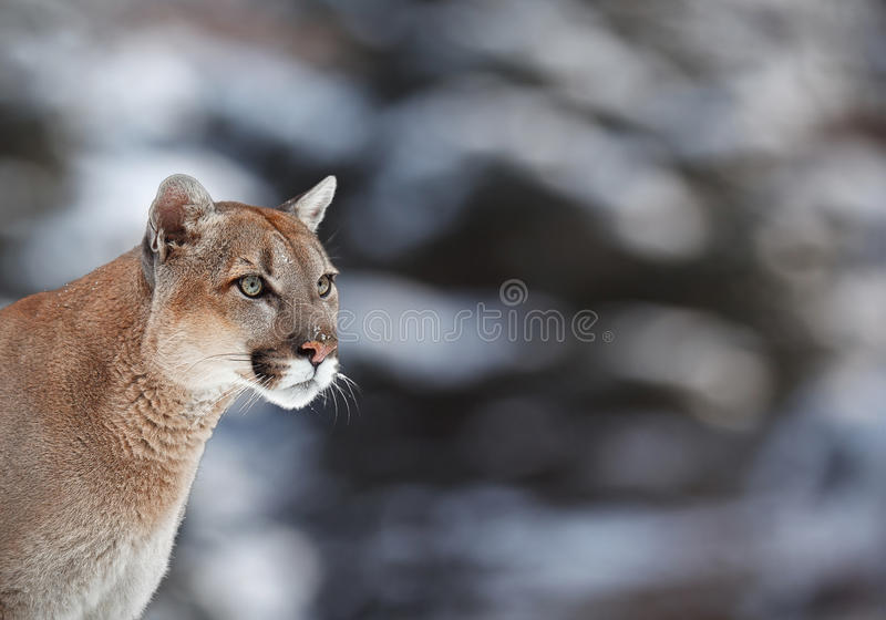 Portrait of a cougar royalty free stock image