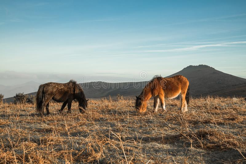 Portrait of couple of beautiful basque horse pottok in countryside mountains in basque country, france royalty free stock image