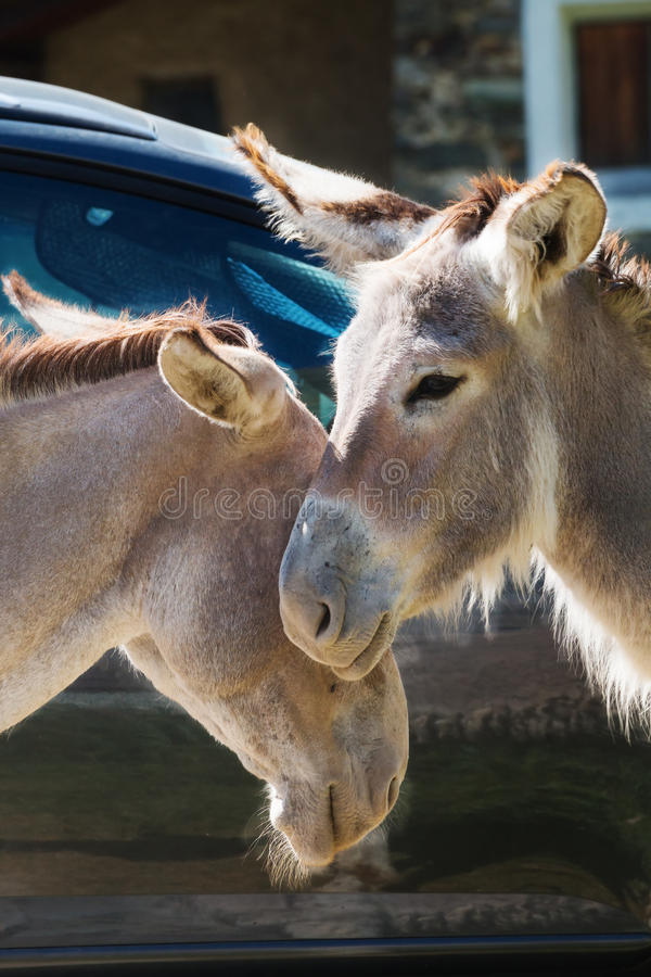 Portrait of a couple of donkeys do cuddles stock photography