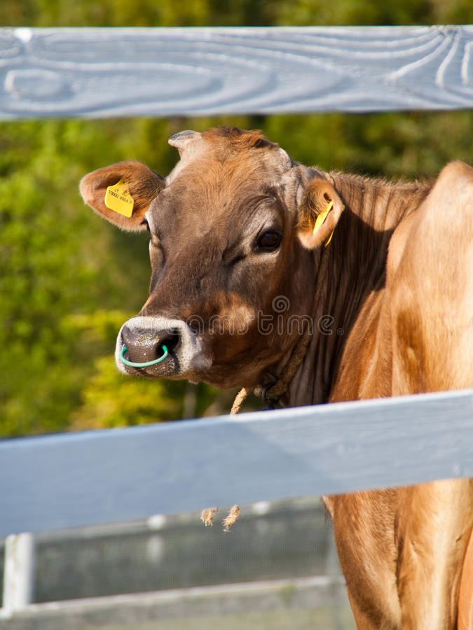 Portrait of a cow royalty free stock image
