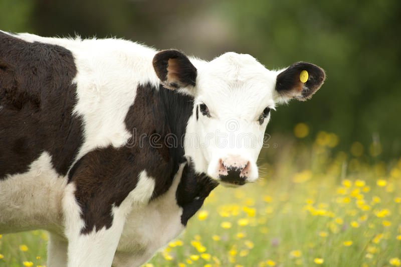 Download Portrait of cow stock photo. Image of outdoors, nobody - 18632130
