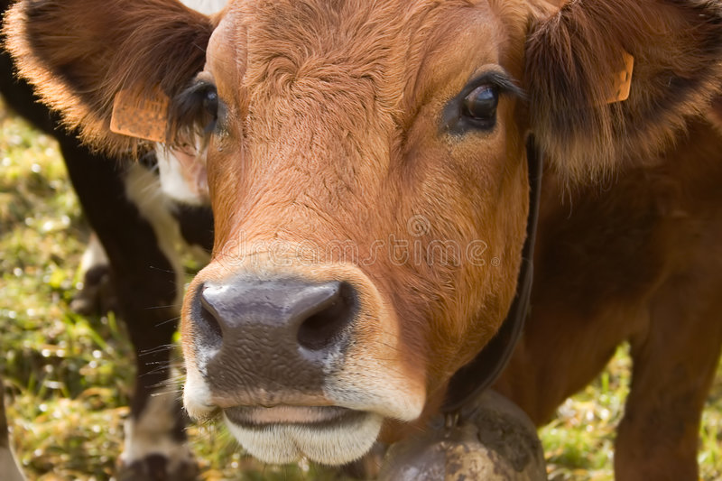 Download Portrait of cow stock photo. Image of bovine, cheese, lush - 3306836