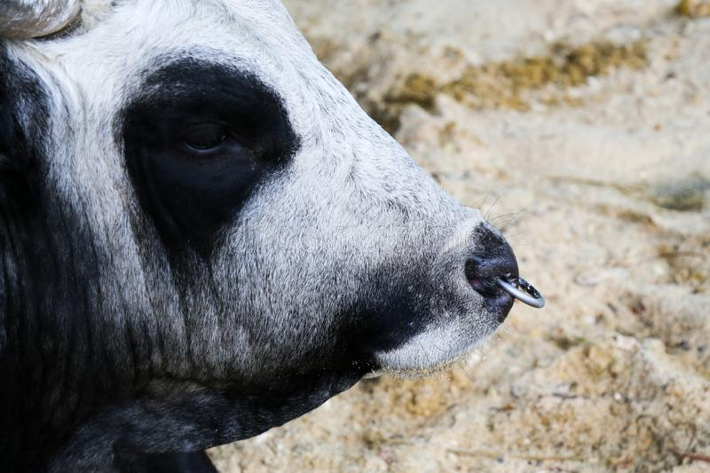Portrait of a cow in the aviary. The cow lies on the floor and looks into the camera. stock images