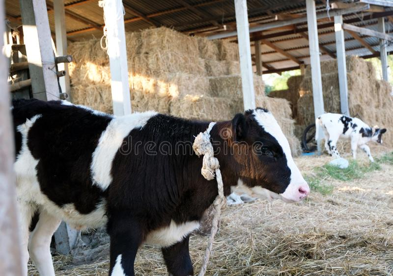 The portrait of cow on the background of farm stock photos