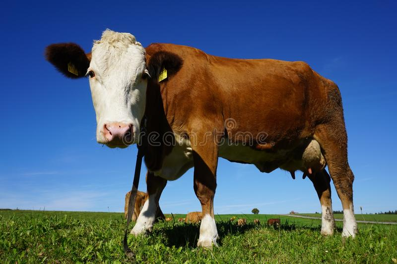 Portrait of Cow Standing in Pasture stock photo
