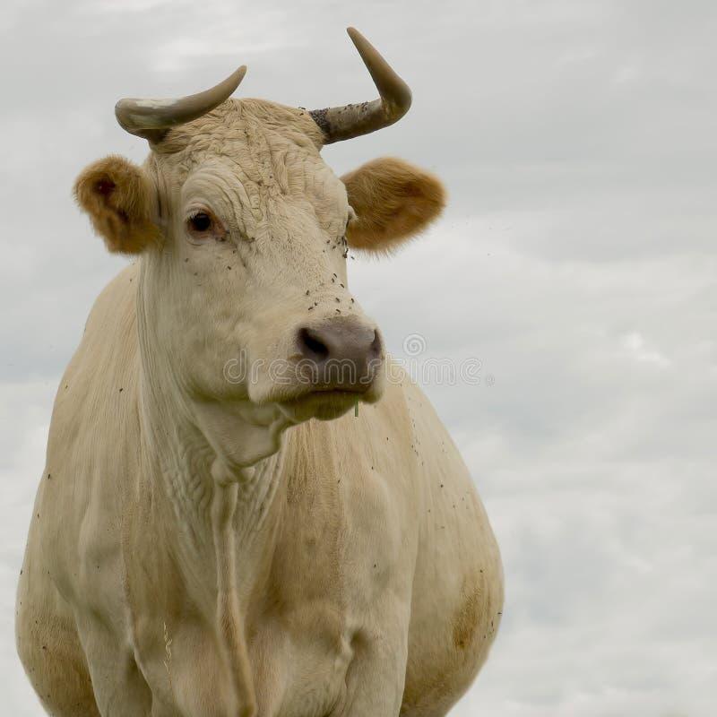 portrait crémeux de vache à couleur, dans le pâturage photos libres de droits