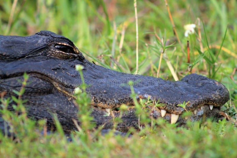 Portrait crocodile head in profile. Portrait close up crocodile head in profile showing teeth and flowers in the florida everglades stock images