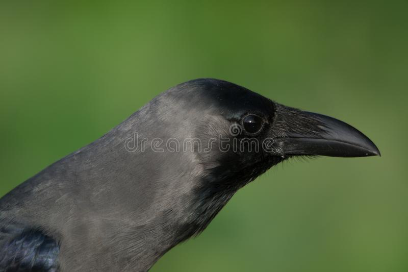 Portrait of crow - Very cunny bird royalty free stock photos